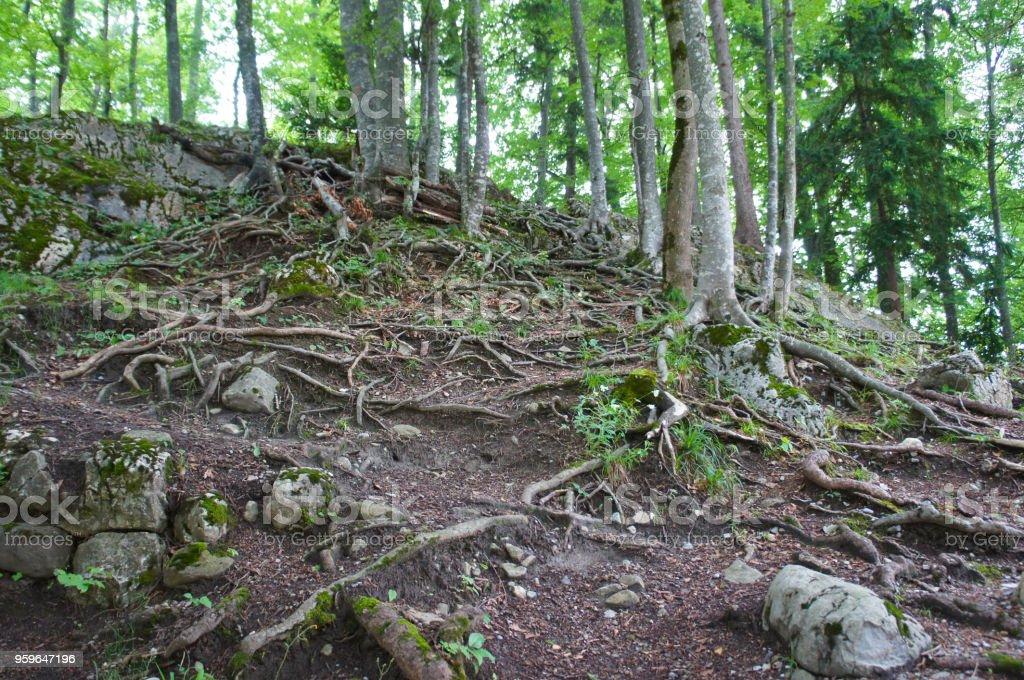 Árboles del paisaje de bosque con muchas raíces en verano - Foto de stock de Aire libre libre de derechos
