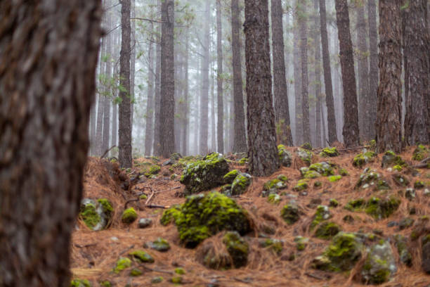 A forest landscape with some very high trees in a foggy day, in Teide National Park, Tenerife, Spain stock photo