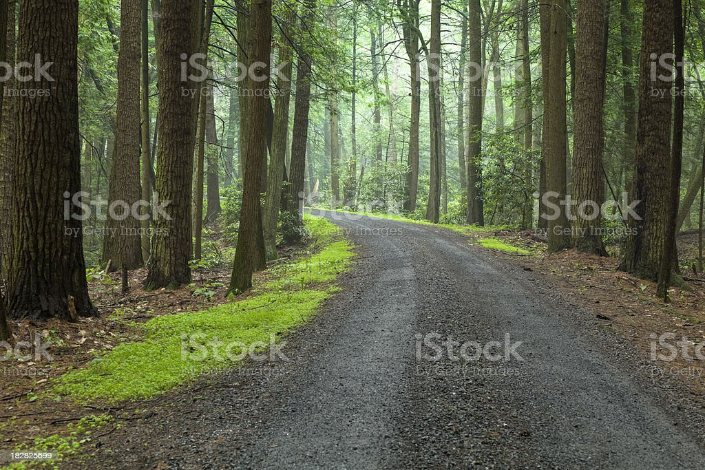 Forest Lane With Tall Trees and Large Rhododendrons royalty-free stock photo
