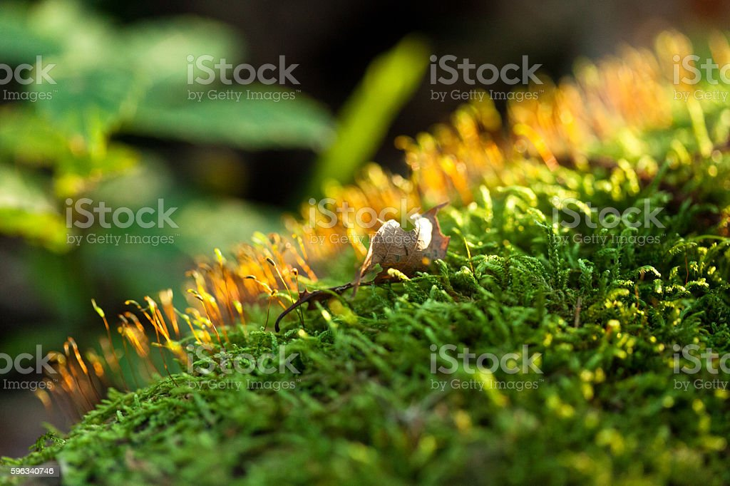 Forest macro, green leafs and moss, sunlight royalty-free stock photo