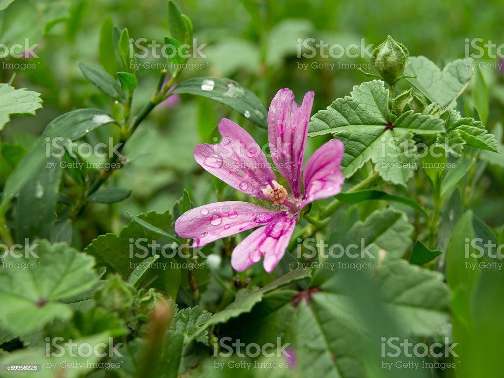 forest mallow (Malva sylvestris) stock photo