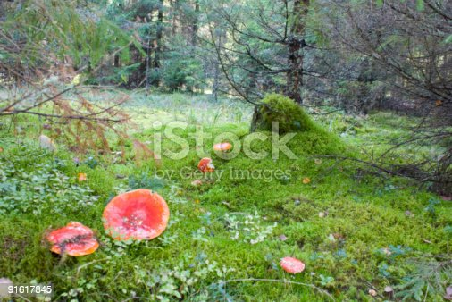 istock Forest moss, fly agaric 91617845
