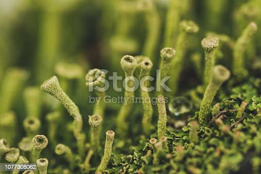 Green forest natural Scandinavian moss. Wildlife in winter. Natural Herbal Remedy