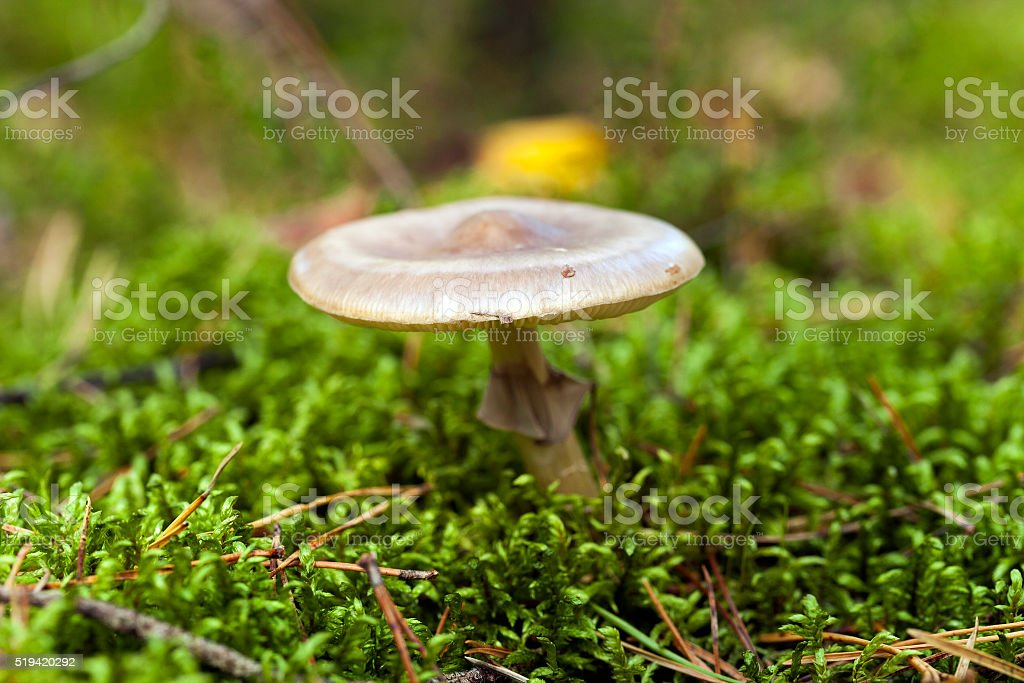 Forest mushroom,  close-up stock photo