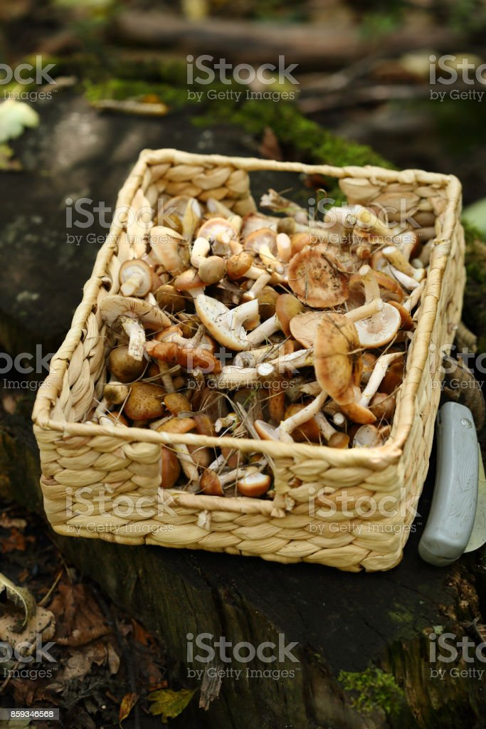forest mushrooms in basket, food closeup stock photo
