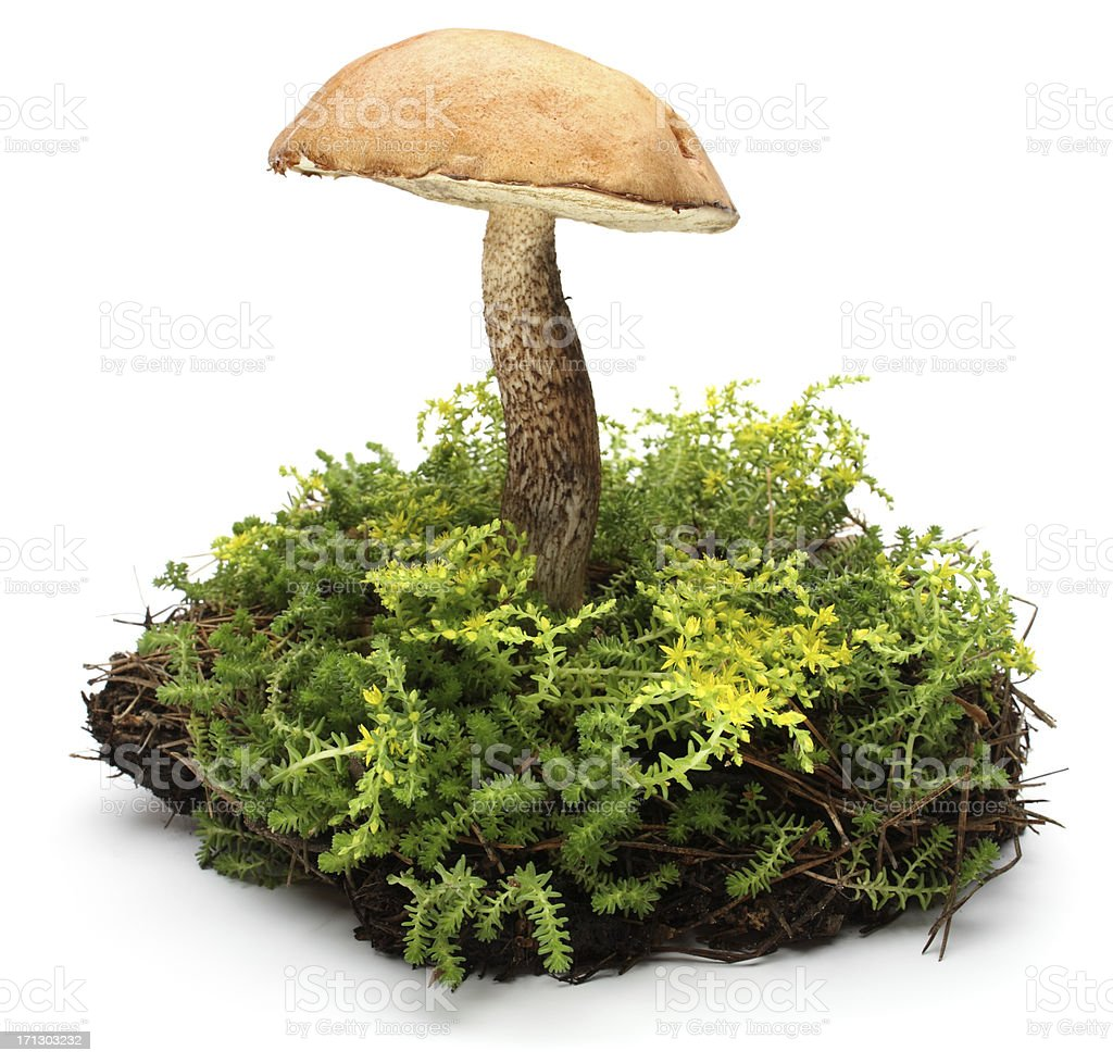 forest mushrooms stock photo