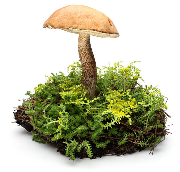 forest mushrooms - moss stock pictures, royalty-free photos & images