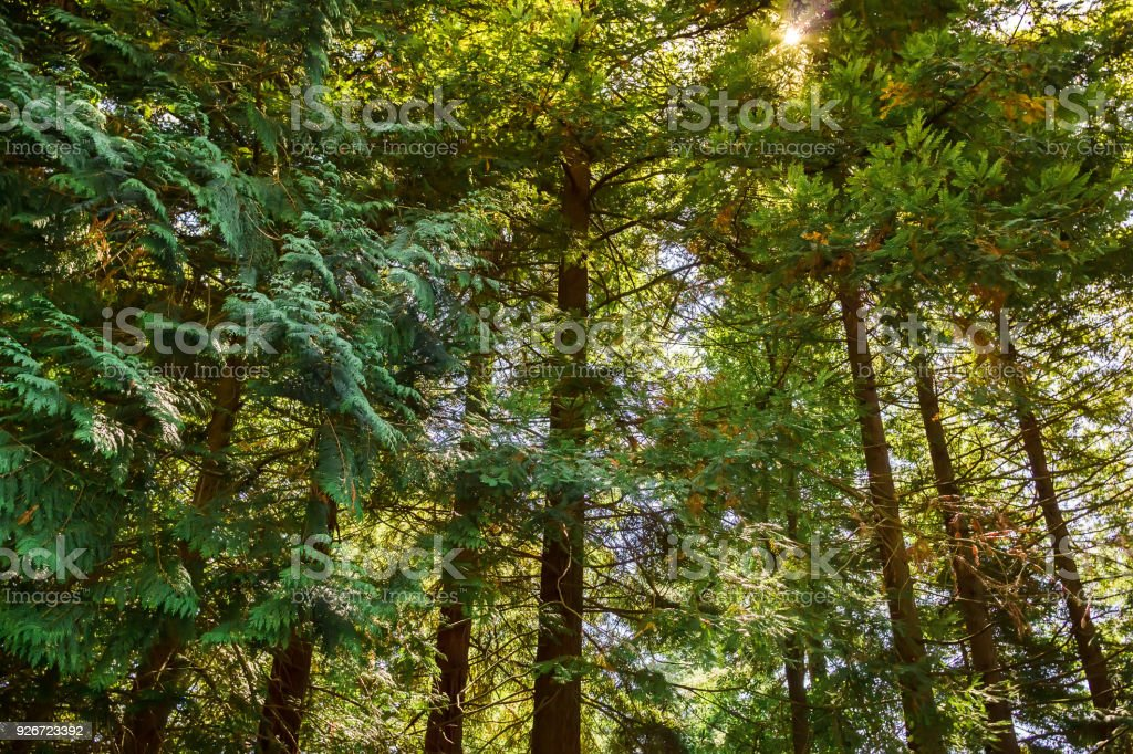 Forest of a sequoia frees. Big trees in California stock photo