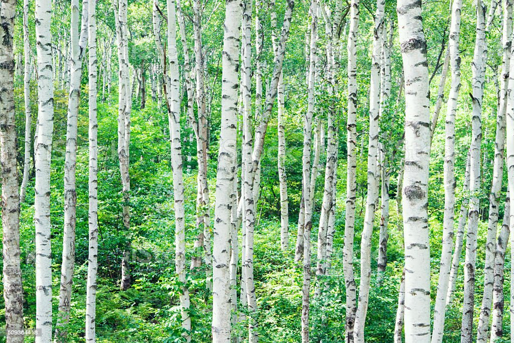 Forest of a white birch stock photo