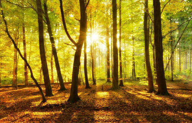 Forest of Beech Trees in Autumn illuminated by the Warm Light of the Setting Sun stock photo