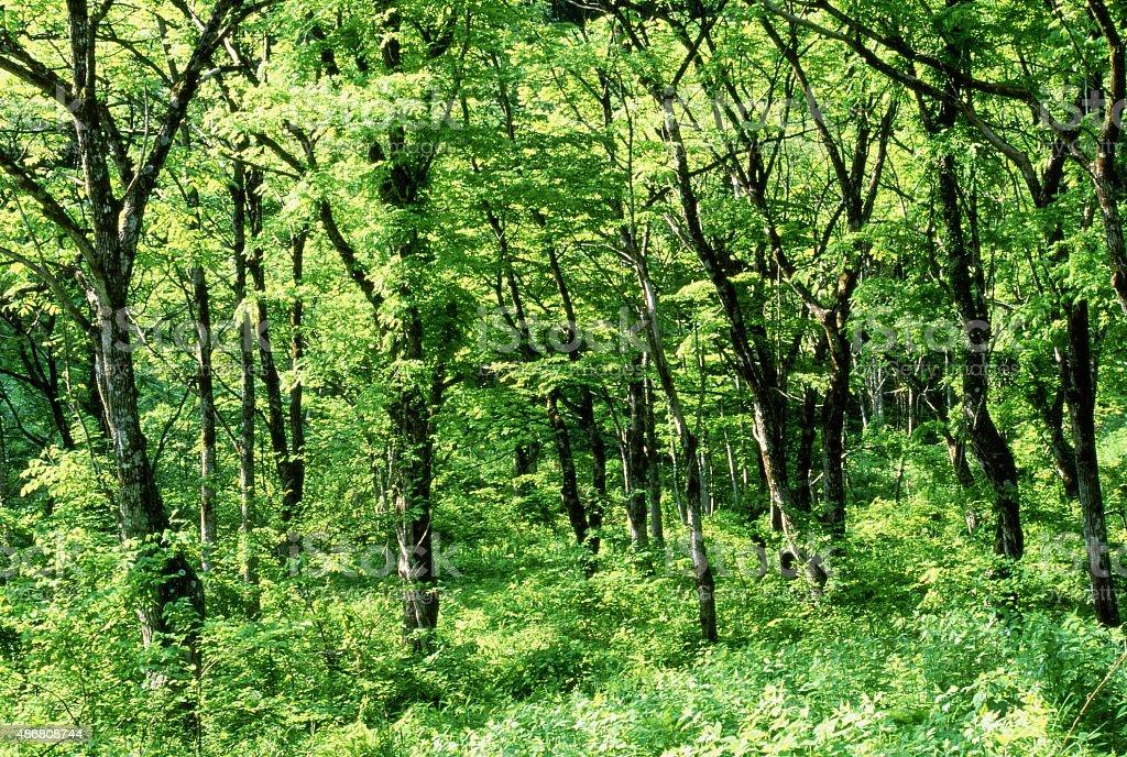森林夏の早期 ロイヤリティフリーストックフォト