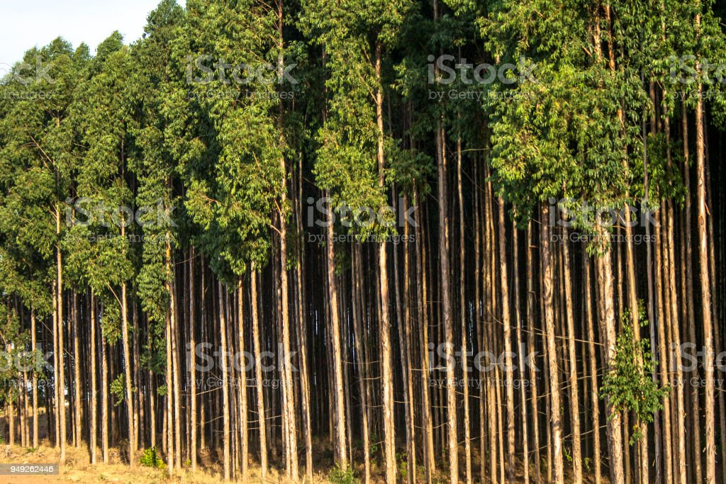Forest Of Eucalyptus Tree In Brazil Stock Photo More Pictures Of