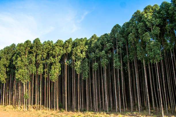 Forest of eucalyptus tree in Brazil stock photo