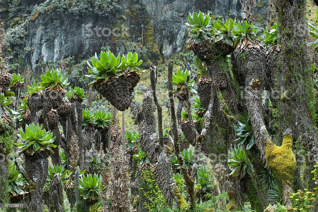 Forest of Giant Groundsel on Mt. Rwenzori in Uganda royalty-free stock photo