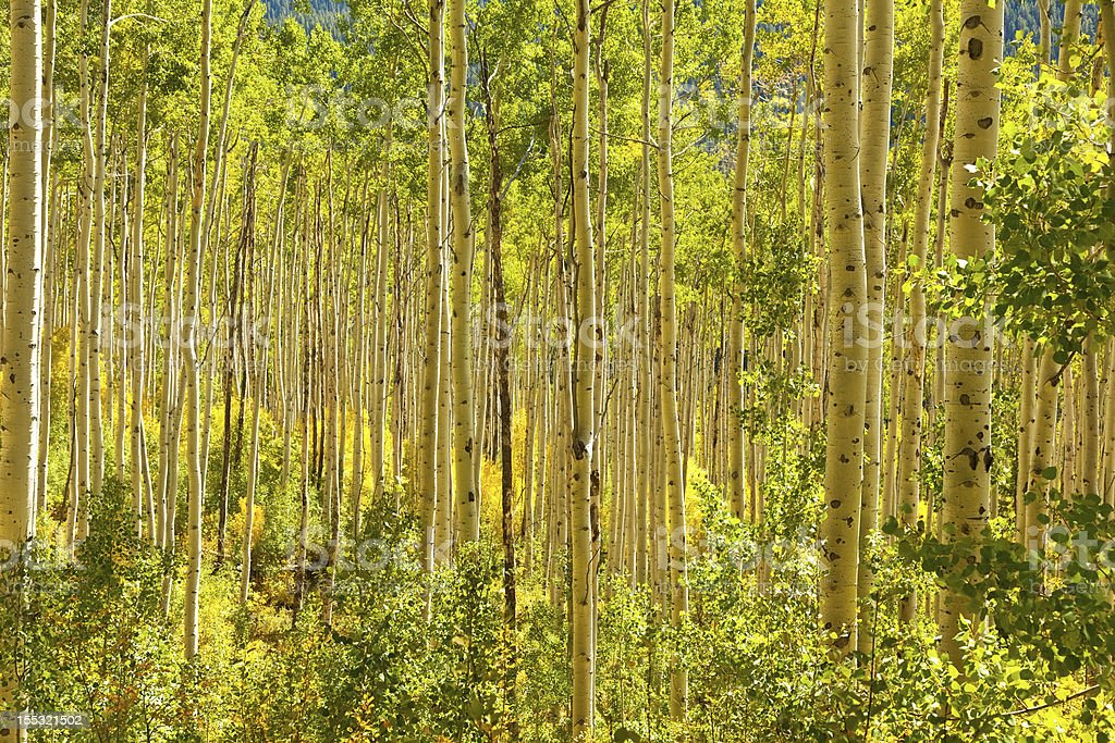 Forest of Golden Aspen Trees royalty-free stock photo