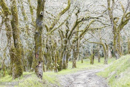 istock Forest of Oak Trees along the trail. 1131841372