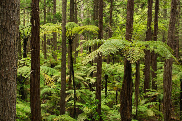 Forest of Tree Ferns and Giant Redwoods in Whakarewarewa Forest near Rotorua, New Zealand Forest of Tree Ferns and Giant Redwoods in Whakarewarewa Forest near Rotorua, New Zealand whakarewarewa stock pictures, royalty-free photos & images