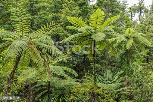 Tree ferns with their feathery fronds arching gracefully upwards from the crown, in a forest in South ISland, New Zealand