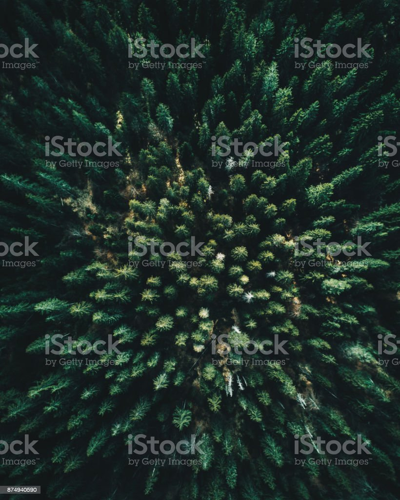 Forest of tree pines aerial view stock photo