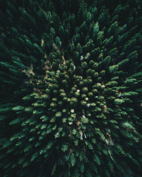 forest of tree pines aerial view - pine tree stock photos and pictures
