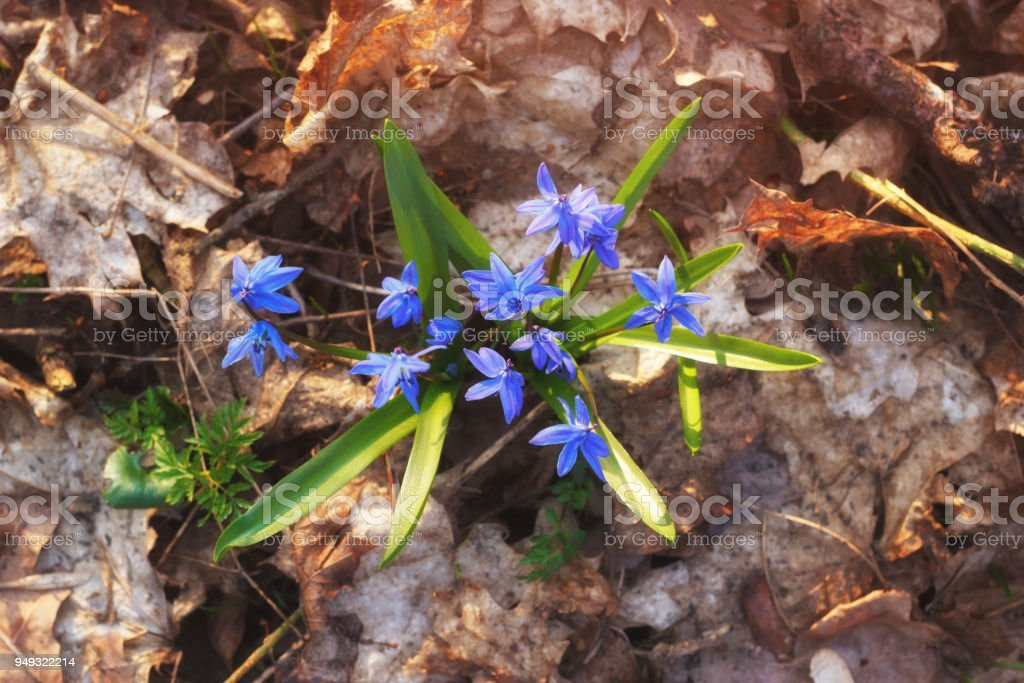 Forest old foliage with fresh blue flowers after winter stock photo