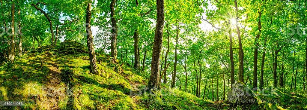 panorama del bosque foto de stock libre de derechos