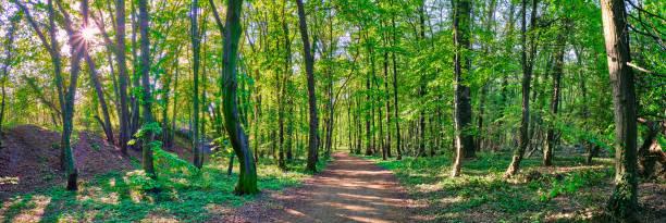 Wald Panorama mit einem Weg durch die Mitte. Oben Links scheint die Sonne durch die Baumkronen, die Sonnenstrahlen und Sonnenstern durchfluten die grünen Bäume. – Foto