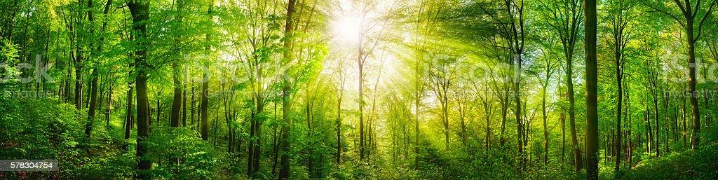 Forest panorama with warm sunrays foto de stock libre de derechos