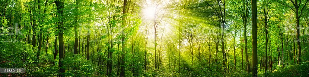 Forest panorama with warm sunrays stock photo