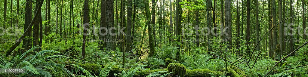 Forest Panoramic stock photo