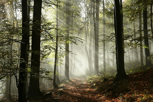 istock Forest path in the fog 519891337