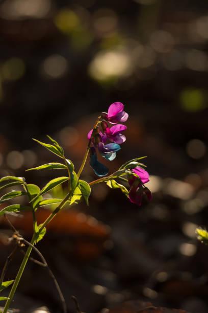 Groszek leśny – zdjęcie