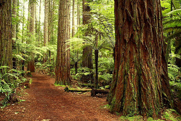 Forest Redwood forest redwood tree stock pictures, royalty-free photos & images