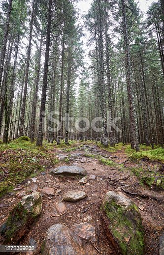 An empty forest in Norway. The trees stand tall around a footpath which has big boulders on it. The ground around the path is covered by mosses.