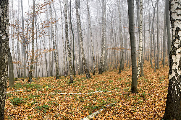 Forest. Beech and birch tree forest in autumn. Dense fog. taiga stock pictures, royalty-free photos & images