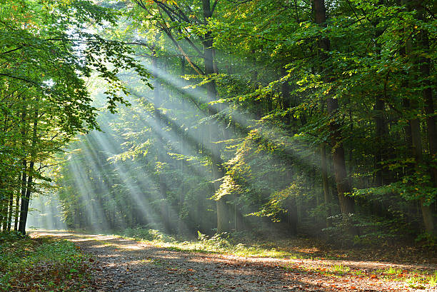 forest - light through trees stock pictures, royalty-free photos & images