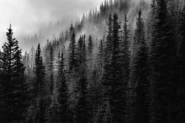 forest - trees in mist stock pictures, royalty-free photos & images