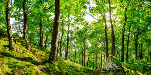 forest - arbre à feuilles caduques photos et images de collection