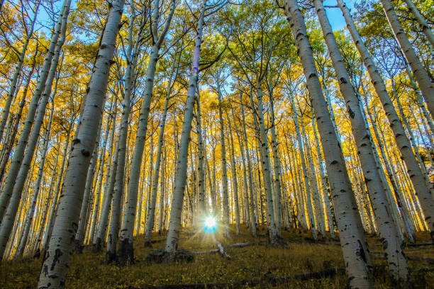 Forest Flagstaff's Forest Meadows Trail during the fall while the sun breathes through the aspen trees. flagpole stock pictures, royalty-free photos & images