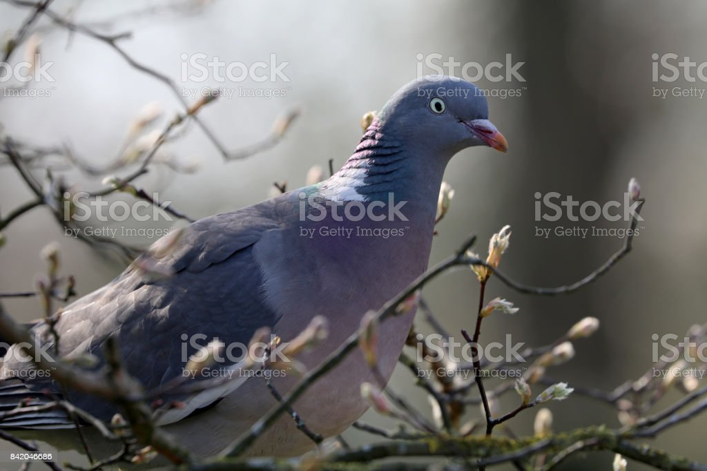 Forest Pigeon stock photo