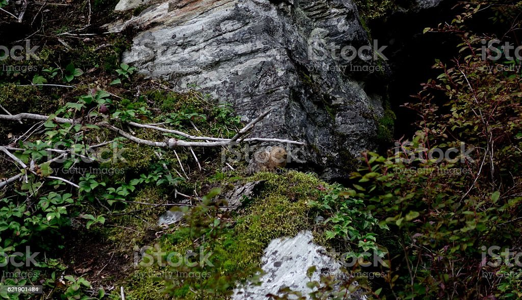 Forest Pika stock photo