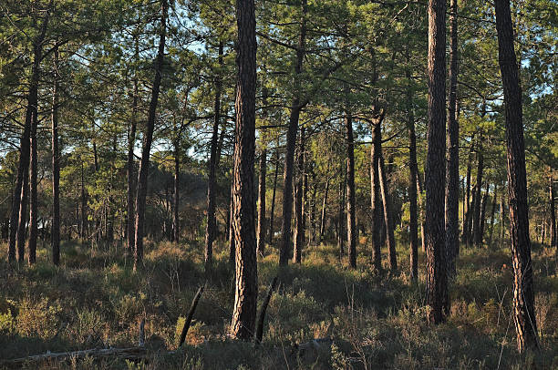 Forest Pine Trees stock photo