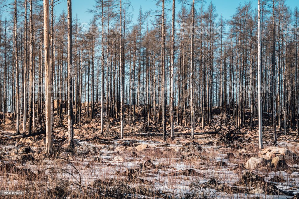 Forest ravaged by fire stock photo