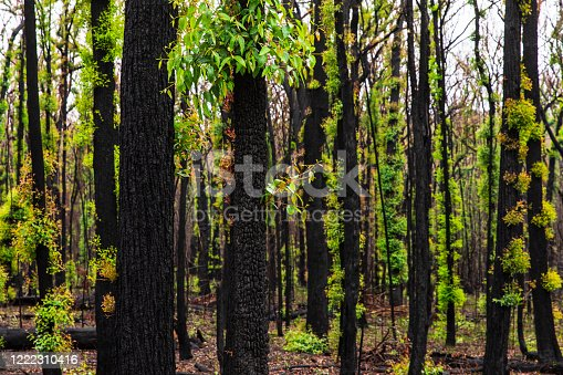 Forest regrowth with black charcoal trees after forest fire during an Australian Summer
