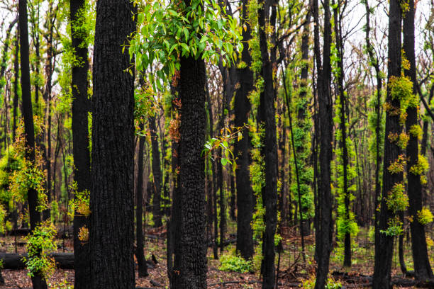Forest regrowth with black charcoal trees after forest fire stock photo