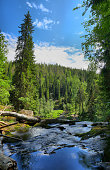 Vertical panorama of forest river among age-old pine trees, near the waterfall