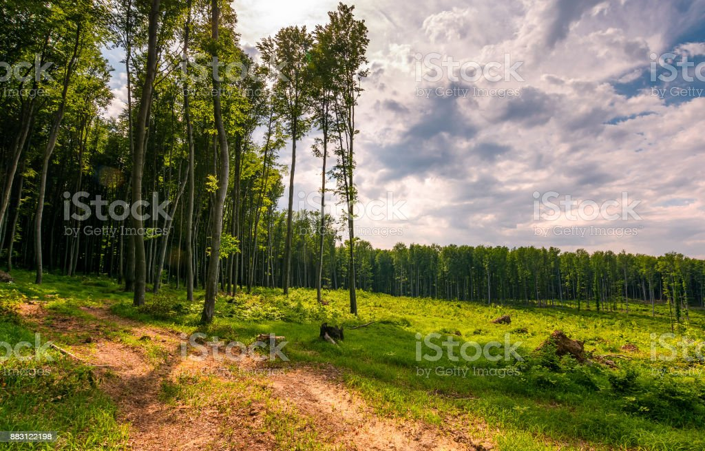forest road among tall trees on a large meadow stock photo