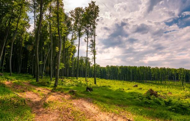 forststraße unter hohen bäumen auf einer großen wiese - baumgruppe stock-fotos und bilder