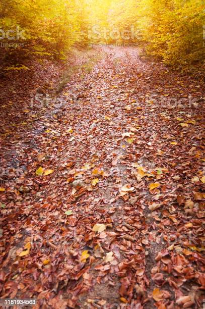 Photo of Forest road covered with leaves in autumn