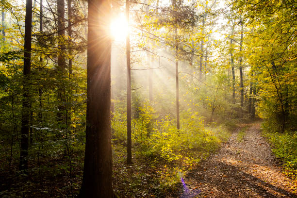 forest road in autumn morning - woodland stock pictures, royalty-free photos & images